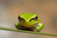Small frog on green leaf Stock Image