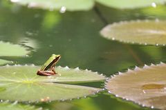 Small frog on the lotus leaf Royalty Free Stock Image