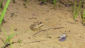 Small frog. In the nature Royalty Free Stock Photography