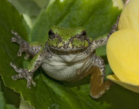 Small frog on plant Royalty Free Stock Images