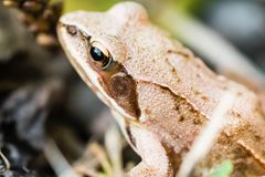Small frog sitting in grass near a pond. Closeup shot of frog head and eye from upper left Stock Images