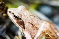 Small frog sitting in grass near a pond. Closeup shot of frog head and eye from upper left Royalty Free Stock Photos