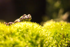 Small frog. Sitting on green moss Royalty Free Stock Images