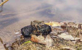 Small frog. Standing by the water Royalty Free Stock Images