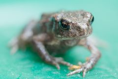 A small frog, soft focus, shallow DOF. Close up of a small frog, soft focus, shallow DOF Royalty Free Stock Images