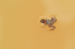Small frog. In turbid water Royalty Free Stock Photos