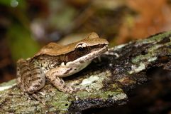 Small frog. Frog on the wet timber. Frog on the wet timber with some lichen Royalty Free Stock Photos