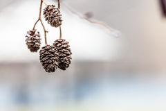 Small frosted cones on branches, chilly day. Hoarfrost, beauty of nature concept. Small frosted pine cones on branches, chilly day royalty free stock photo