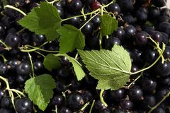 small fruit of a black currant Stock Photos