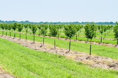 Small fruit trees Royalty Free Stock Photo