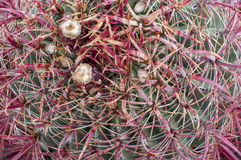 Small fruits on barrel cactus Royalty Free Stock Image