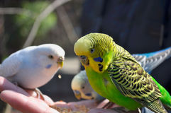Small funny budgies Stock Photo
