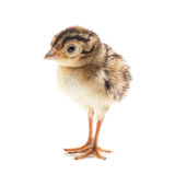 Small funny chick pheasant, isolated Royalty Free Stock Images