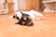 Small funny cute Jack Russell Terrier dog lies on the side on the ground stock photography