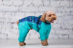 Small funny dog of brown color with curly hair of toy poodle breed posing in clothes for dogs. Subject accessories and fashionable. Outfits for pets. Stylish royalty free stock images