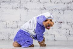 Small funny dog of brown color with curly hair of toy poodle breed posing in clothes for dogs. Subject accessories and fashionable. Outfits for pets. Stylish stock photo