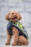 Small funny dog of brown color with curly hair of toy poodle breed posing in clothes for dogs. Subject accessories and fashionable. Outfits for pets. Stylish stock images