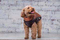 Small funny dog of brown color with curly hair of toy poodle breed posing in clothes for dogs. Subject accessories and fashionable. Outfits for pets. Stylish royalty free stock image