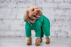Small funny dog of brown color with curly hair of toy poodle breed posing in clothes for dogs. Subject accessories and fashionable. Outfits for pets. Stylish stock photos