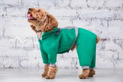 Small funny dog of brown color with curly hair of toy poodle breed posing in clothes for dogs. Subject accessories and fashionable. Outfits for pets. Stylish royalty free stock photos