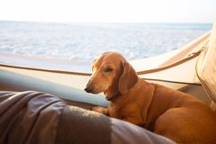 Small funny dog lays in a tent. And meditate during sunrise, holidays on the beach. Amazing recreation on sea shore in a wilderness royalty free stock image