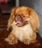 A small, funny  dog, Pekingese Stock Photo