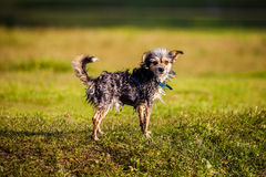 Small funny dog. After swim Royalty Free Stock Images