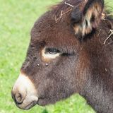 Small funny donkey portrait closeup Stock Photography