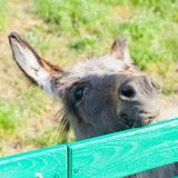 Small funny donkey portrait looking out fence Stock Photography