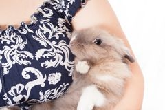 Small, funny Dutch decorative rabbit sits on the hands of a loving and caring hostess. Royalty Free Stock Photo