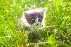 Small funny gray and white kitten on green meadow royalty free stock images