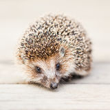 Small Funny Hedgehog On Wooden Floor Stock Photography