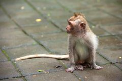 Cute monkeys lives in Ubud Monkey Forest, Bali, Indonesia. stock photos