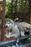 Small and funny malamute puppy Stock Photos