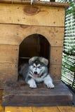Small and funny malamute puppy Stock Photo