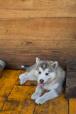 Small and funny malamute puppy Stock Images