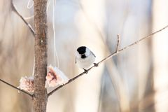 Small and funny marsh tit bird sitting on the branch and pecking lard in the winter forest on sunny day. Close-up Image of small marsh tit bird sitting on the stock photo