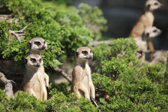 A small funny meerkat Royalty Free Stock Image
