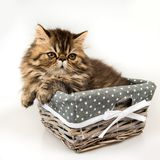 Funny fluffy small Persian kitten cat in the basket. Small funny Persian kitten cat marble color coat in the basket, three weeks old royalty free stock photography