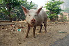 Small funny pig in Myanmar. Small funny piglet, looking, animal pig nose royalty free stock image