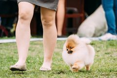 Small Funny Red Pomeranian Spitz Dog Running Near Woman In Green. Grass During Training Stock Photography