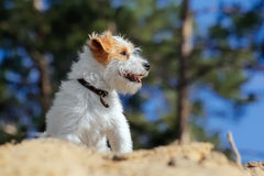 Small funny smiling puppy playing outdoors. Cute furry dog running in a summer forest. Small funny smiling puppy playing outdoors Stock Photos