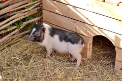 Small funny spotted piglet. In the straw near the fence. Selective focus stock photos