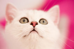 Small funny white kitten Royalty Free Stock Photos