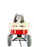A small furry black and white dog. A small furry black and white dog in a red wagon with a white isolated background. There is plenty of room above for text Royalty Free Stock Image