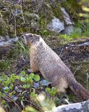 Small furry marmot. Stock Photos
