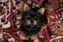 Small furry puppy sitting on an oriental rug. A small furry Yorkie x Pekingese puppy sits on a rug looking up at the camera royalty free stock photo