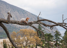 Small furry red squirrel without a foot on branch in the background of trees. Small furry red squirrel without a foot on a branch on a background of trees in Royalty Free Stock Photo