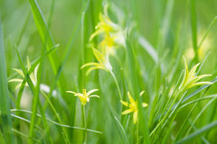 Small Gagea lutea flowers, fresh grass background. Yellow Star of Bethlehem spring lily family. Perennial herb, first Royalty Free Stock Photos