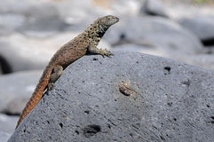 A small galapagos lizard is taking the sun bath. On  a rock Stock Photography